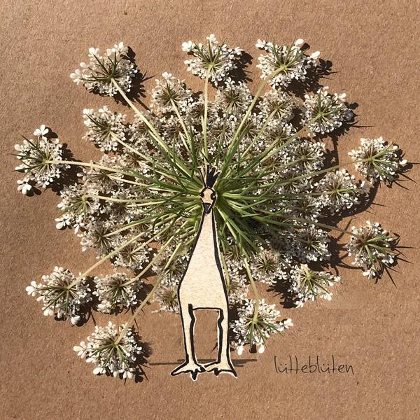 Doldenblütler-Pfau